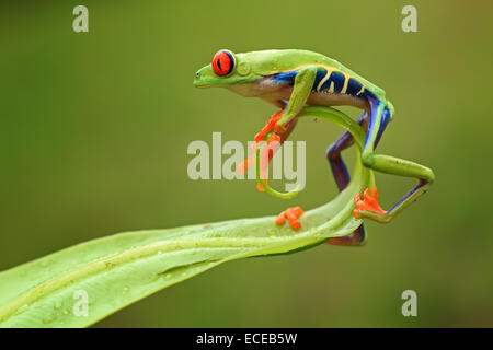 Red-eyed tree frog on the end of a leaf, Batam, Riau Islands, Indonesia Stock Photo