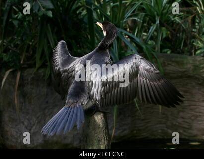 Juvenile Australian Little pied cormorant (Phalacrocorax melanoleucos, Microcarbo melanoleucos) drying feathers - Stock Photo