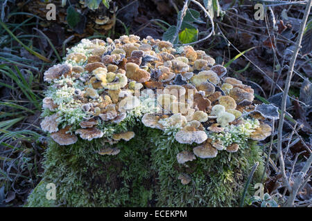 Close-up study in the early morning sunshine of fungi growing on a rotting tree stump in a woodland setting - Stock Photo