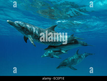 Mother and baby Atlantic Spotted Dolphins - Stock Photo