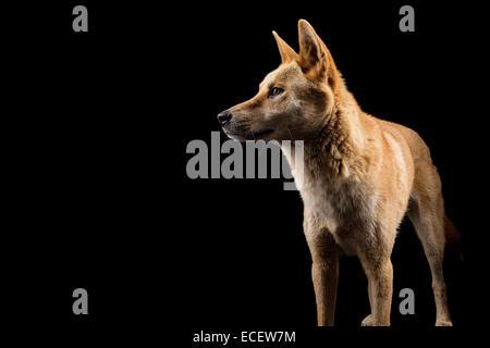 australian dingo - Stock Photo