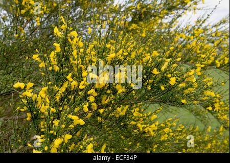 Common or scotch broom, Cytisus scoparius, flowering shrub, Berkshire, May - Stock Photo