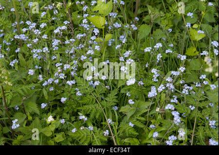Field forget-me-not, Myosotis arvensis flowering on roadside margin, Bershire, May - Stock Photo