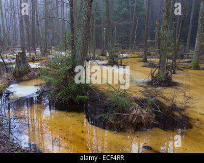 Spring landscape of old forest and broken trees lying in water - Stock Photo