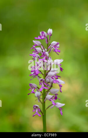 Helm-Knabenkraut, Orchis militaris, Military Orchid - Stock Photo