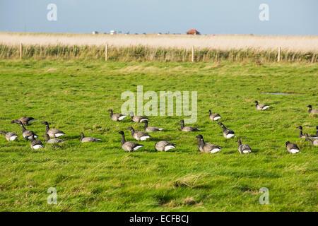 Brent Geese grazing on Salt marsh in Blakeney, Norfolk, UK. - Stock Photo