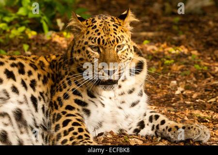 Extremely Rare Amur Leopard (Panthera Pardus Orientalis) Sitting Down - Stock Photo