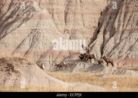 Herd of bighorn sheep in Badlands National Park, South Dakota - Stock Photo