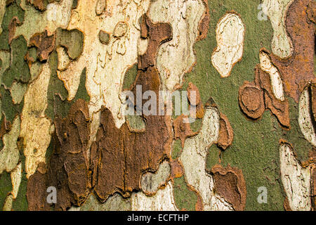 multi colored bark of a tree outdoor - Stock Photo