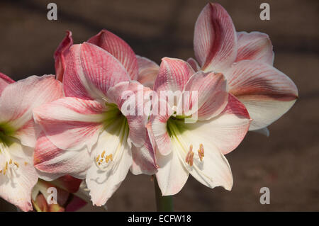 A cluster of pink and white Amaryllis Hippeastrum, photographed in the warm temperate biome at the Eden Project - Stock Photo