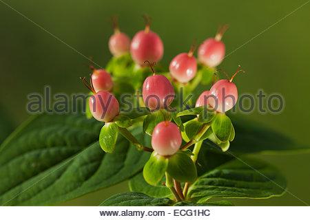 Hypericum \'Miracle Blossom\' synonym \'Allblossom\' Saint St. John\'s ...