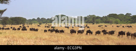 Herd of blue wildebeests (Connochaetes taurinus) moving in row during the Great Migration in Serengeti National - Stock Photo