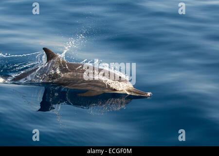 Spinner Dolphin, Ostpazifischer Delfin, Stenella longirostris, surfacing, Indonesia - Stock Photo