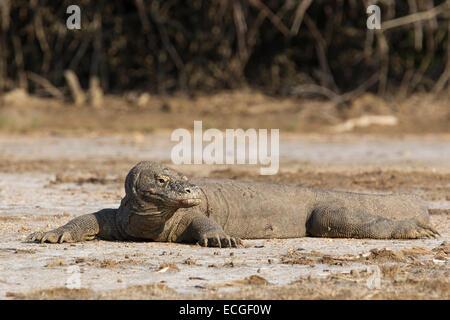 Komodo dragon, Varanus komodensis, Komodowaran, resting on Rinca Island, Komodo National Park, Indonesia - Stock Photo
