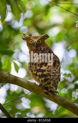 Buffy Fish-owl (Ketupa ketupu) in Way Kambas National Park, Indonesia. - Stock Photo