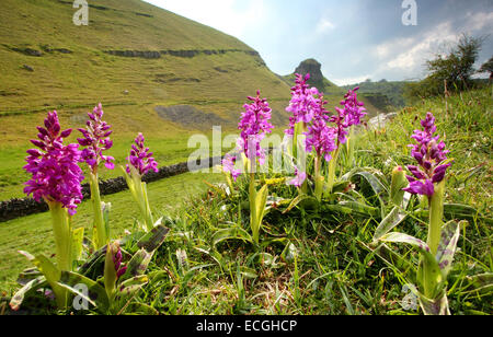 Early purple orchids (orchis mascula) growing on a hillside in Cressbrook Dale, Peak District National Park, Derbyshire, - Stock Photo