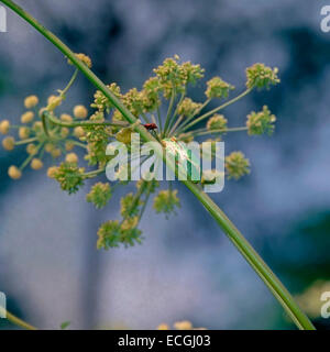 Mimicry - Italian tree frog (Hyla intermedia) camouflaged on Wild Angelica Stem - Stock Photo