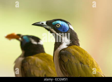 Close up of Australian blue-faced honeyeater, Entomyzon cyanotis, in the wild with second bird in distance against - Stock Photo