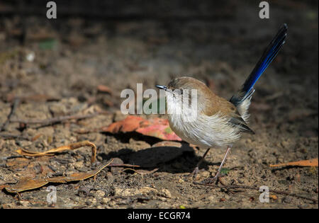 Non-breeding Male Superb Fairywren, Mt. Field National Park, Tasmania, Australia - Stock Photo