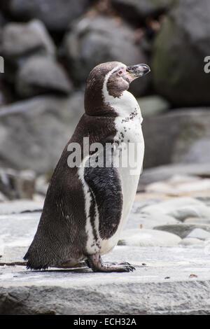 The Humboldt penguin (Spheniscus humboldti), also termed Peruvian penguin or Patranca. - Stock Photo