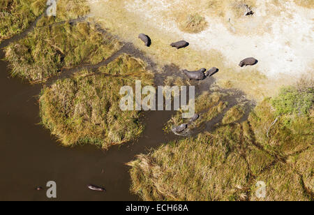 Hippopotamuses (Hippopotamus amphibius), breeding herd, lazing at the edge of a freshwater marsh, aerial view, Okavango - Stock Photo