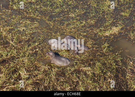 Hippopotamuses (Hippopotamus amphibius), small breeding family in a freshwater marsh, aerial view, Okavango Delta - Stock Photo