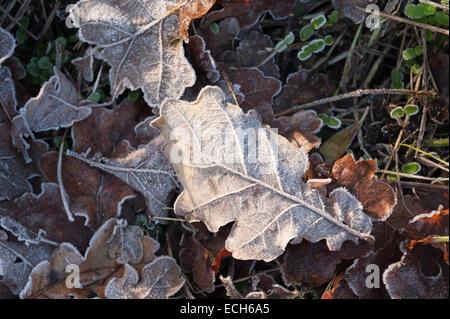 bitter cold frosty morning leaf litter oak leaves coated in coating of frost in late autumn winter - Stock Photo