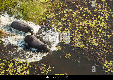 Hippopotamuses (Hippopotamus amphibius), rushing into the water of a freshwater marsh, aerial view, Okavango Delta - Stock Photo