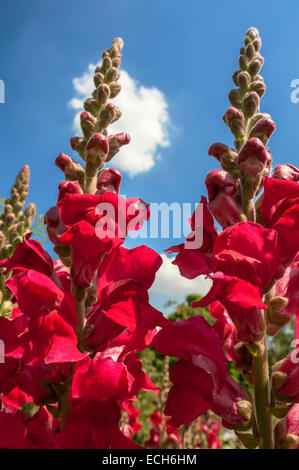 Snapdragon (Antirrhinum majus) - Stock Photo