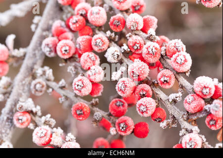 Frozen frost covered red berries cottoneaster shrub a great food source for birds over winter shallow depth of field - Stock Photo