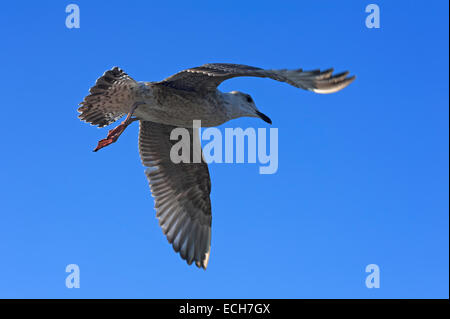 Flying young Yellow-legged gull (Larus michahellis) against blue sky, Zingst, Darß, Mecklenburg-Western Pomerania, - Stock Photo