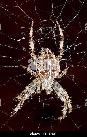 A Common European Garden Spider on its web - Stock Photo