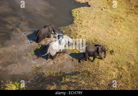 African Elephants (Loxodonta africana), three bulls, after bathing in a freshwater marsh, aerial view, Okavango Delta, Botswana