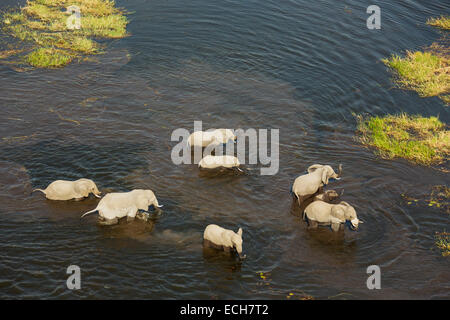 African Elephants (Loxodonta africana), breeding herd crossing a stream, aerial view, Okavango Delta, Botswana - Stock Photo