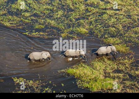 African Elephants (Loxodonta africana), three cows roaming in a freshwater marsh, aerial view, Okavango Delta, Botswana