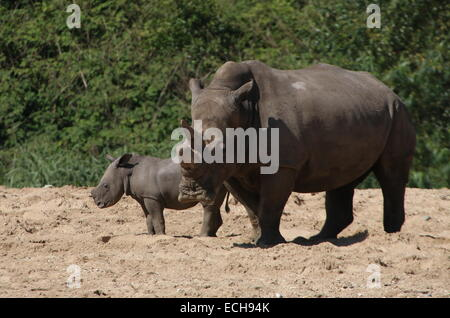 African White rhino (Rhinoceros Ceratotherium simum) mother with her young - Stock Photo
