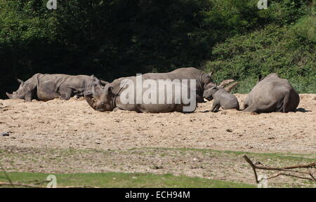 Family of African Southern White rhinos (Rhinoceros Ceratotherium simum)  resting in the sun - Stock Photo