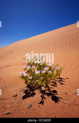Nolana plant growing in the Atacama Desert, Chile. - Stock Photo
