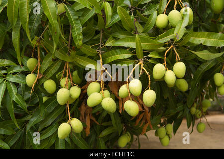 Mauritius, Mahebourg, Biscuiterie Rault Manioc Biscuit factory, mangoes ripening on tree - Stock Photo