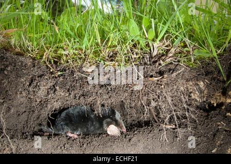 european mole common mole mole maulwurf unter der erde stock photo 76602875 alamy. Black Bedroom Furniture Sets. Home Design Ideas