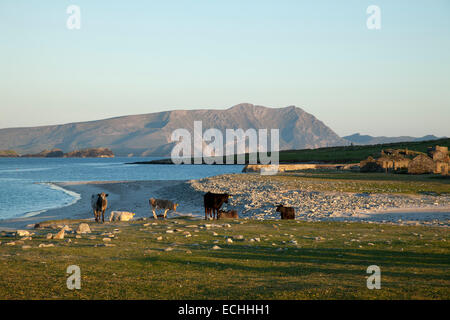 Cows beside the deserted village of Inishkea South Island, County Mayo, Ireland. - Stock Photo