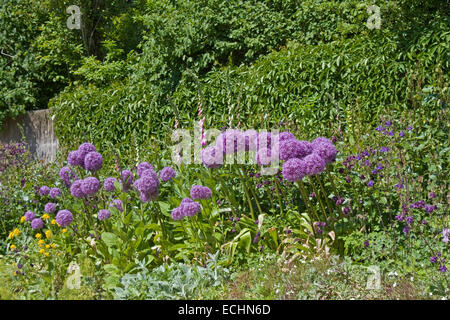 Europa, Deutschland, Schleswig Holstein, Neukirchen, Seebuell, Nolde Stiftung, Sternkugel-Lauch im Nolde Garten - Stock Photo