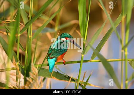 common kingfisher ,Alcedo atthis in its habitat - Stock Photo