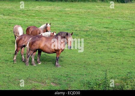 Comtois horse (Equus caballus) - Stock Photo