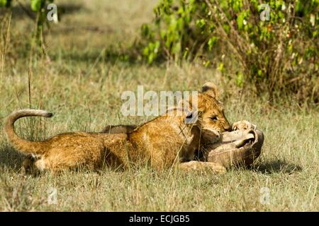 Kenya, Masai-Mara game reserve, lion (Panthera leo), cubs playing with a turtle - Stock Photo