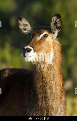 Kenya, Masai-Mara game reserve, waterbuck (Kobus ellipsiprymnus), female - Stock Photo