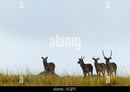 Kenya, Masai-Mara game reserve, waterbuck (Kobus ellipsiprymnus), a group under the rain - Stock Photo