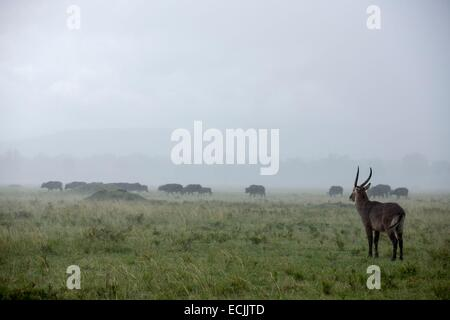 Kenya, Masai-Mara game reserve, waterbuck (Kobus ellipsiprymnus), male under the rain and buffalos - Stock Photo