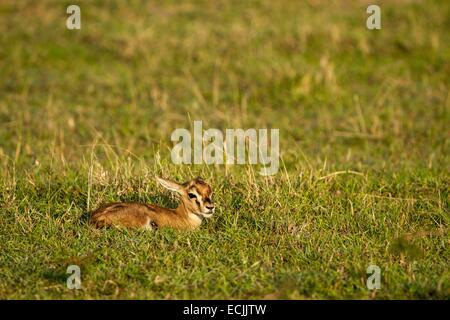 Kenya, Masai-Mara game reserve, Thomson's gazella (Gazella Thomsonii), a newborn - Stock Photo