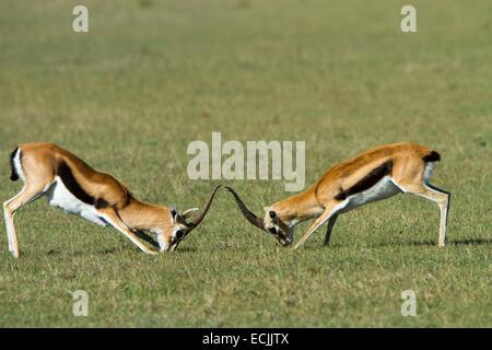 Kenya, Masai-Mara game reserve, Thomson's gazella (Gazella Thomsonii), males fighting - Stock Photo